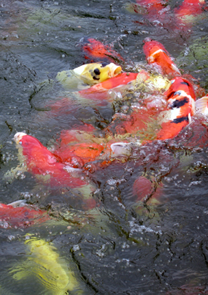 Guide to feeding ornamental fish for Ornamental pond fish types